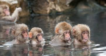 tokyo to jigokudani snow monkeys