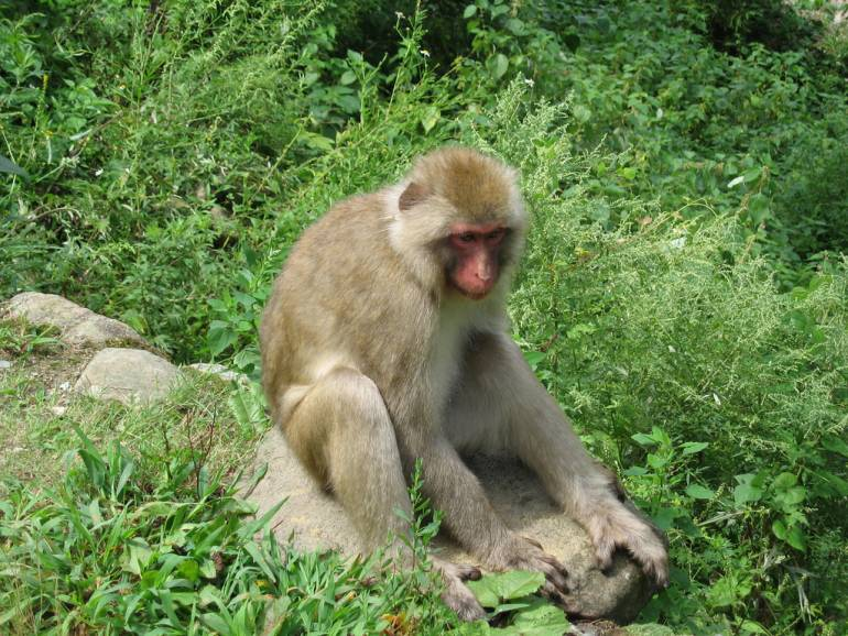 monkey at jigokudani