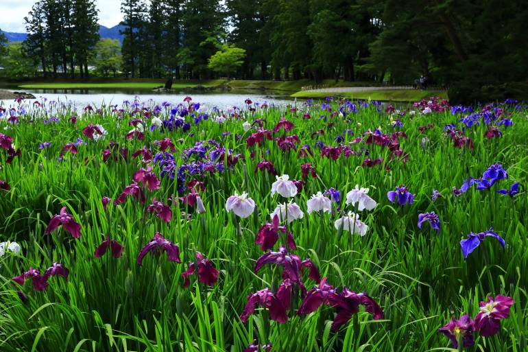 Flowers bloom next to a pond in Hiraizumi
