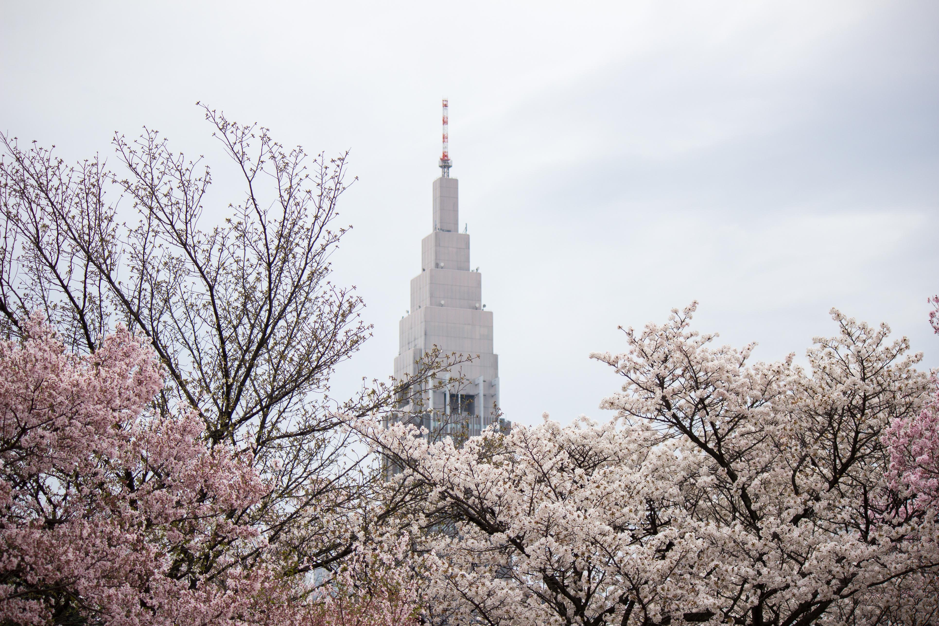 sakura cherry blossoms gyoen shinjuku