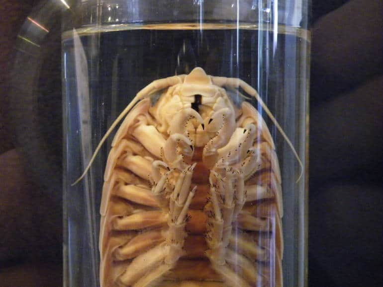 A preserved parasite in a specimen jar.