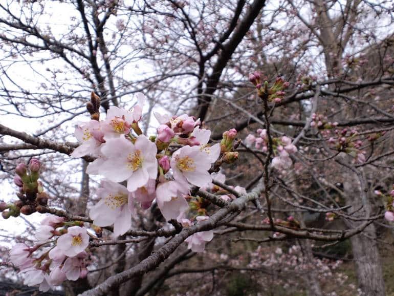 Iwadono Cherry Blossom