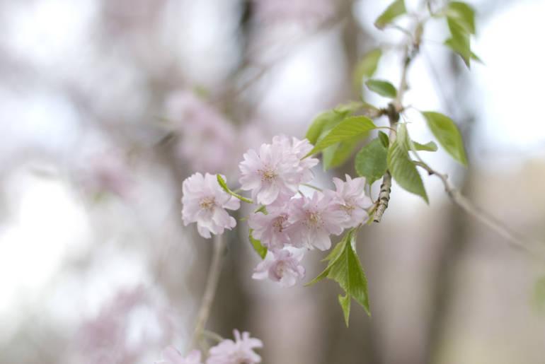 Takaosan Cherry Blossom