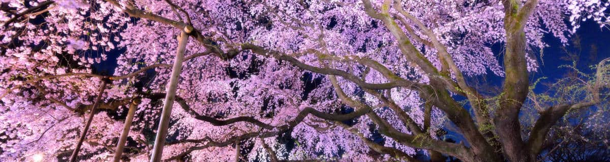A Guide to Tokyo's Historic Cherry Trees