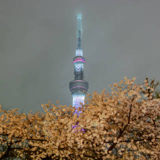 Bokutei Cherry Blossom Festival