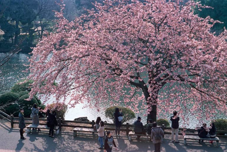 historic cherry trees in tokyo