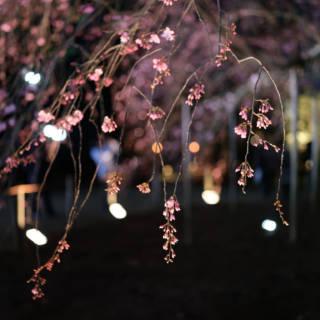Rikugien Gardens: A Mystical Weeping Cherry
