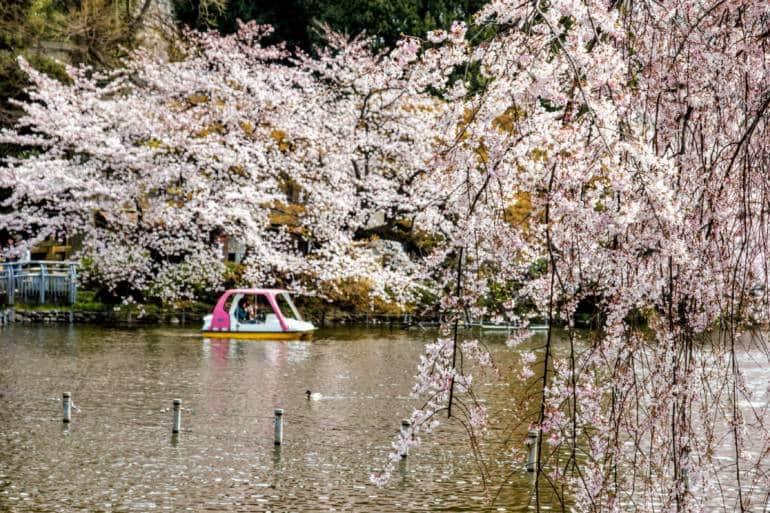 inokashira park cherry blossoms