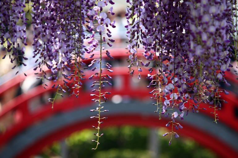 wisteria fuji kameido tenjin