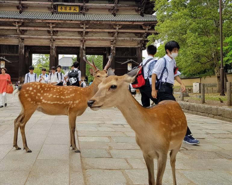 Nara deer in front of Todaiji temple