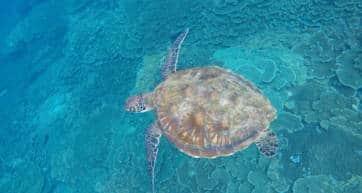 hachijojima sea turtle