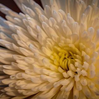 Kameido Tenjin Chrysanthemum Festival