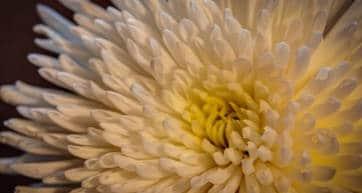 Chrysanthemum Kameido Tenjin