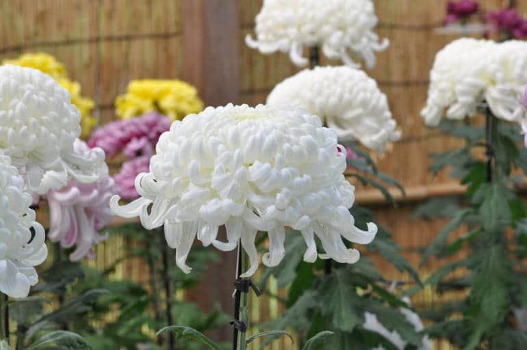 Chrysanthemums Tokyo