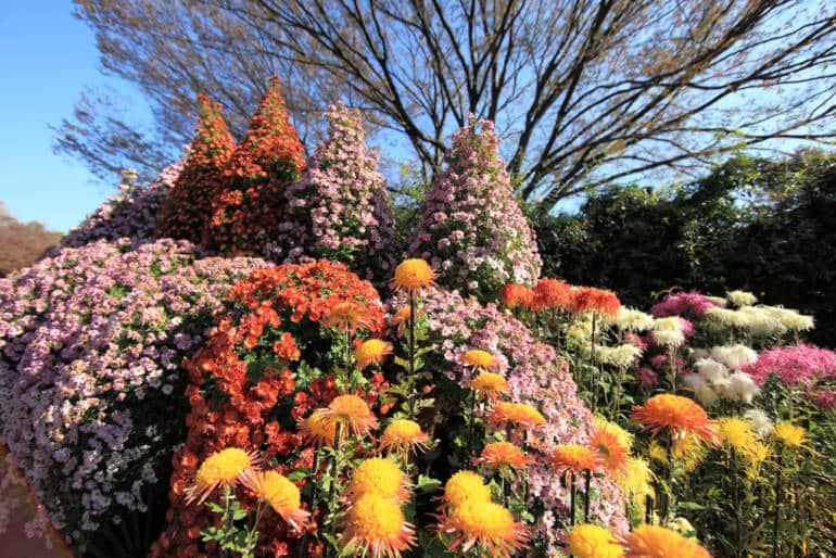 Japan Fall Flowers Chrysanthemums Roses Cosmos And More