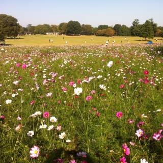 Cosmos Flower Festival at Showa Kinen Park