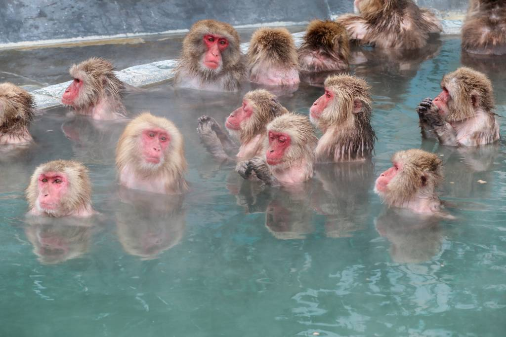 Japanese snow monkeys in a hot spring in Jigokudani