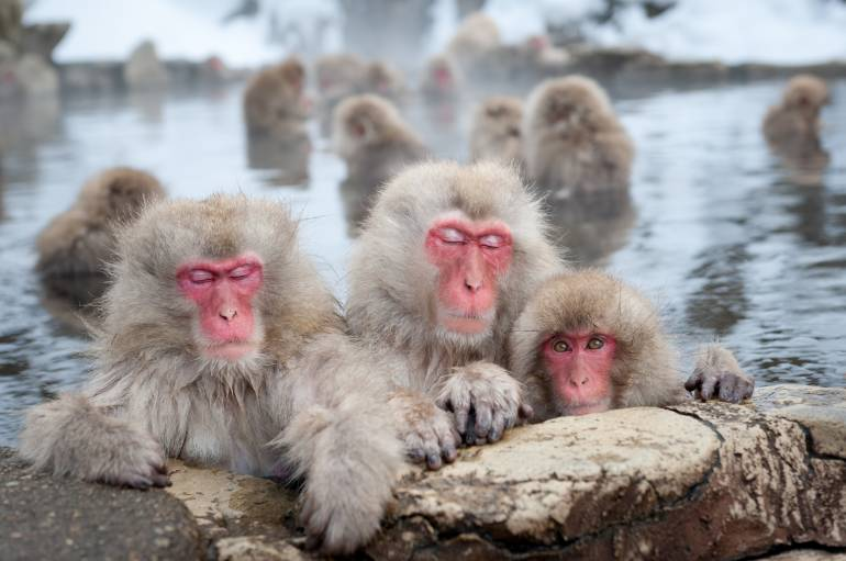 The famous Snow Monkeys (Japanese Macaques) bathe in the onsen hot springs of Nagano, Japan.