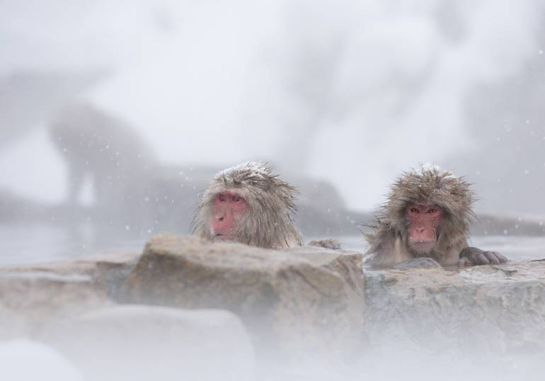 Japanese Macaques relaxes in a hot spring on a snowy day.