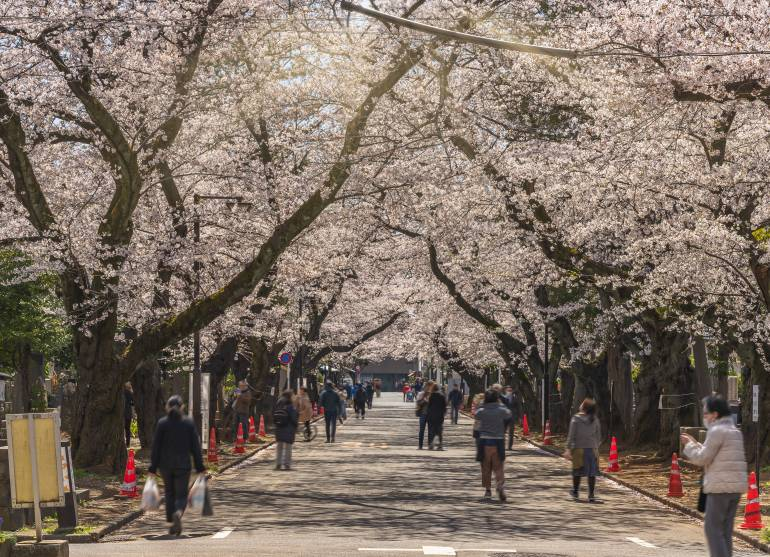 Cherry blossoms blooming in Yanaka Cemetery