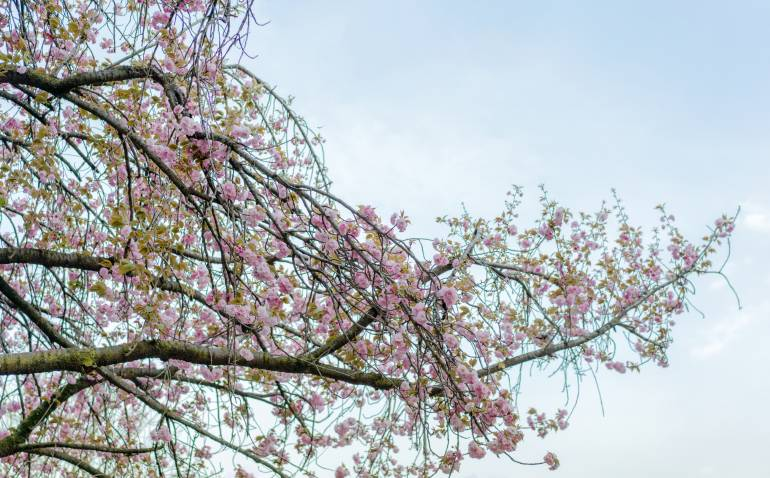 The cherry Weeping cherry blossom of Asukayama park in Tokyo, Japan.
