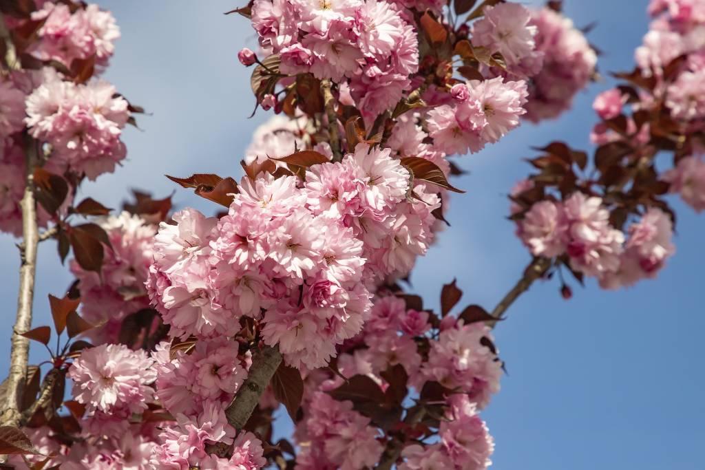 Yaezakura Cherry blossoming tree