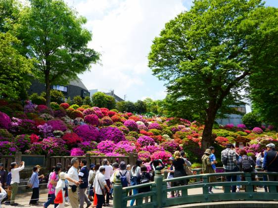 Azalea flower festival at Nezu Shrine