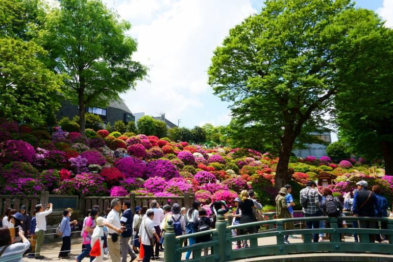 Azalea flower festival at Nezu Shrine