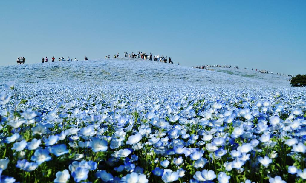 Hitachi Seaside Park nemophilia