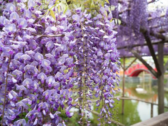 Japanese purple wisteria