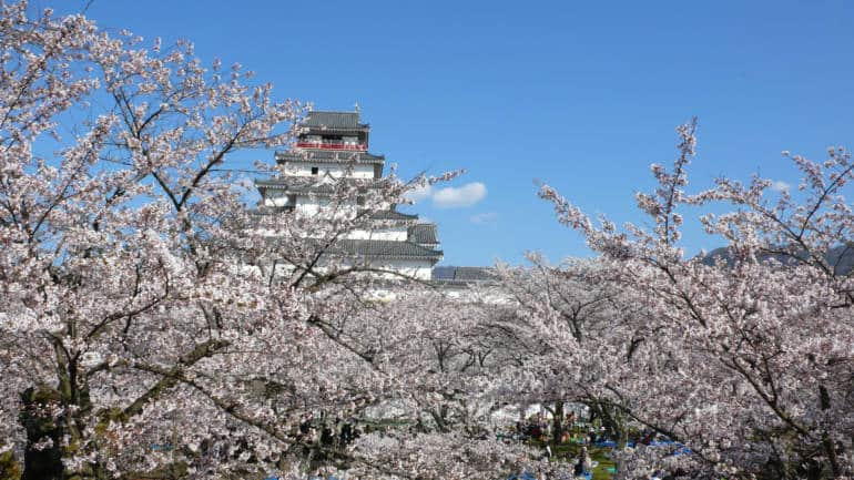 Tsuruga Castle during cherry blossom season