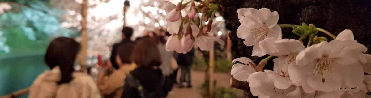 Yozakura: Night-time Cherry Blossom Viewing in Tokyo
