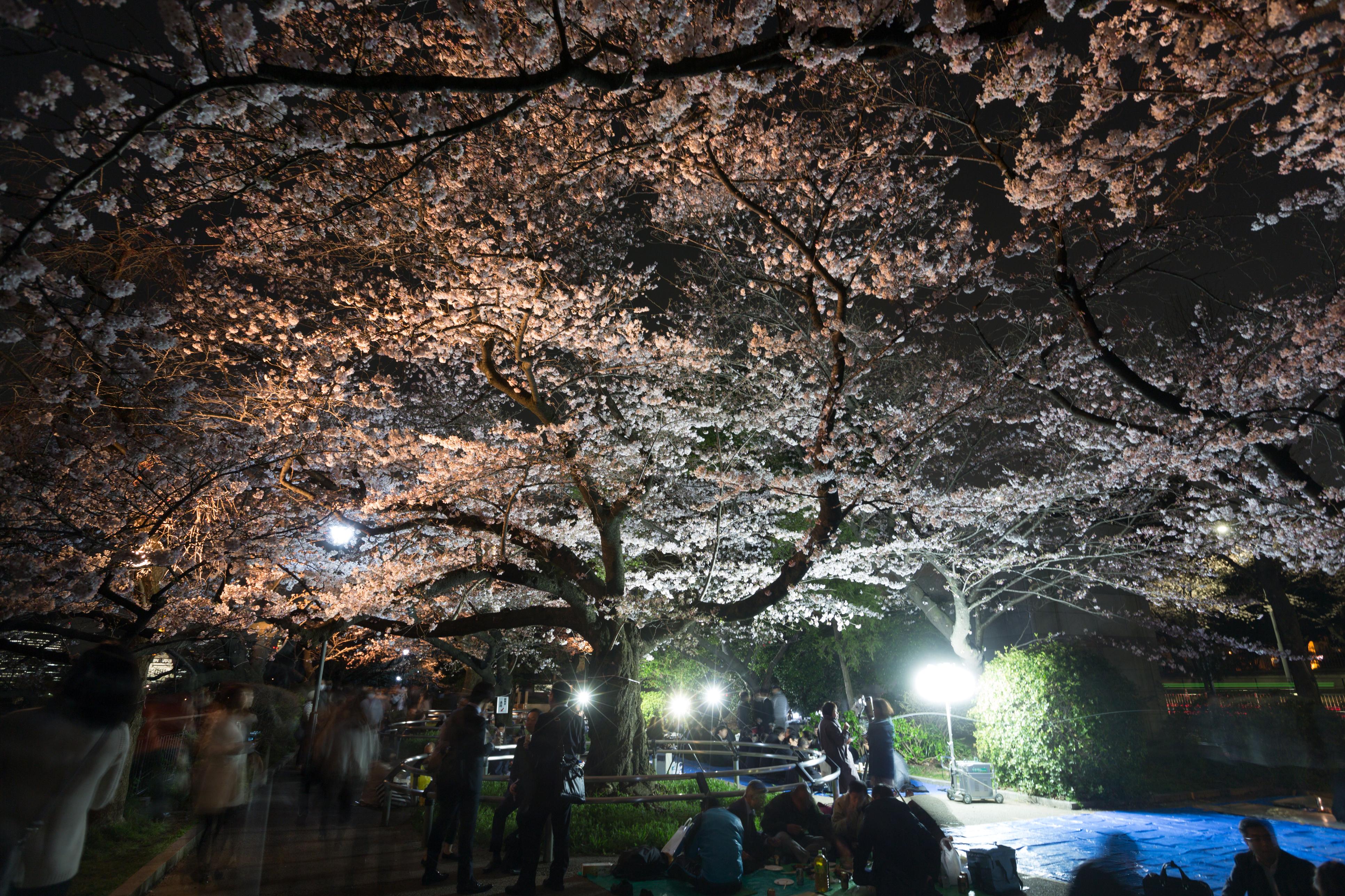 hibiya park tokyo cherry blossom sakura