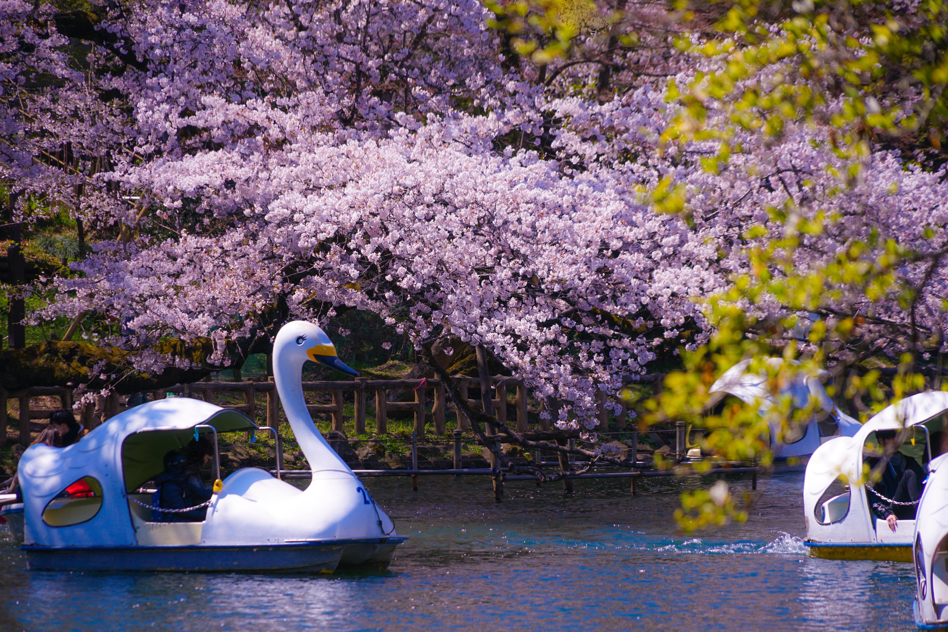 tokyo cherry blossom sakura inokashira park
