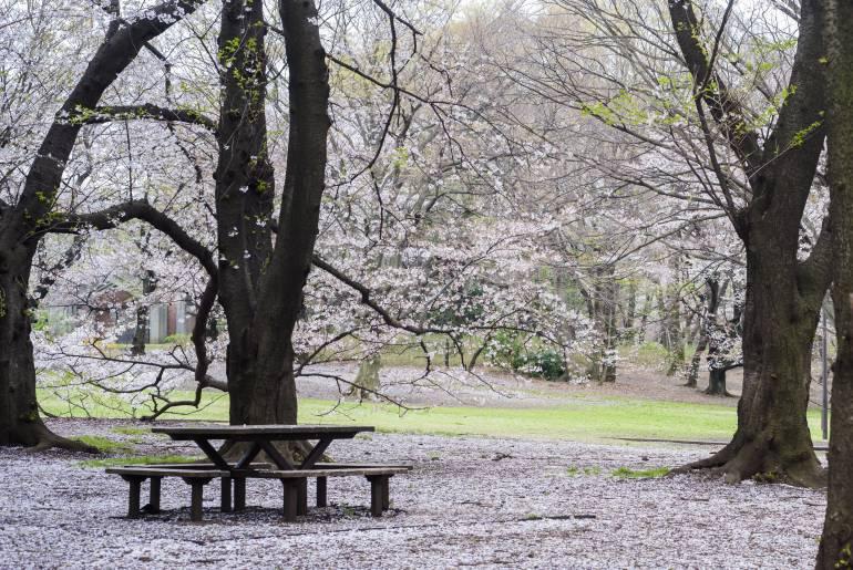 Sakura hanami Kinuta Park