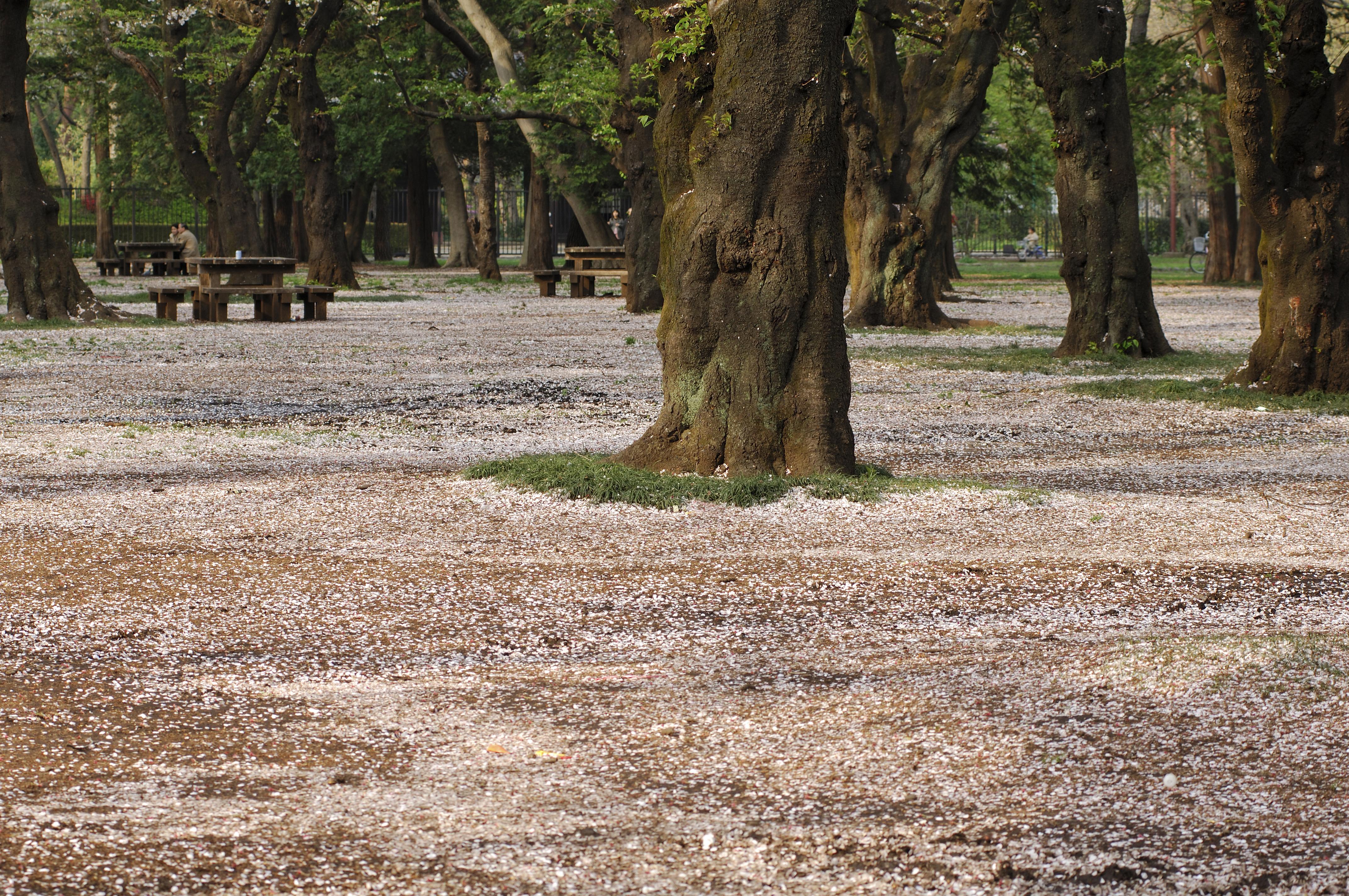 tokyo cherry blossom sakura koganei