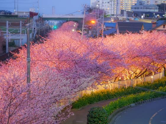 Miura Kaigan Kawazu cherry trees