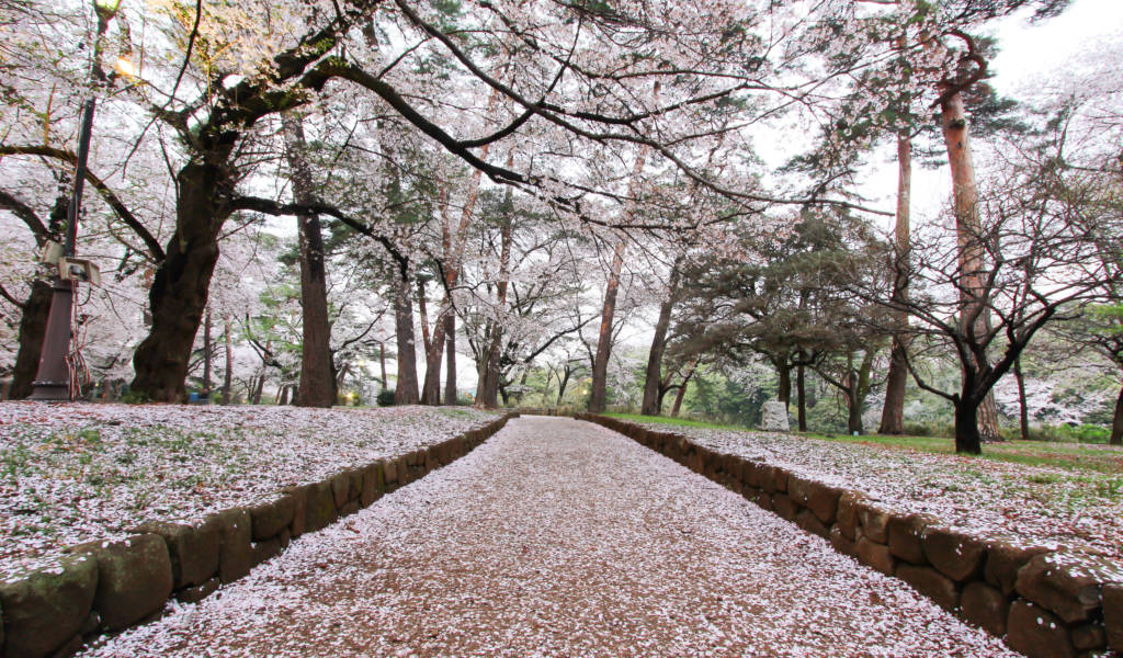 44 Cherry Blossom Festivals Cancelled In Japan Due Coronavirus Outbreak