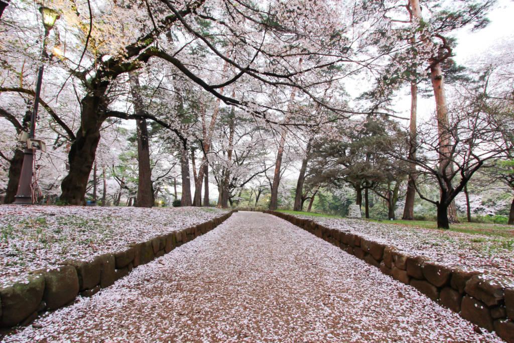 cherry blossom tokyo saitama omiya park sakura