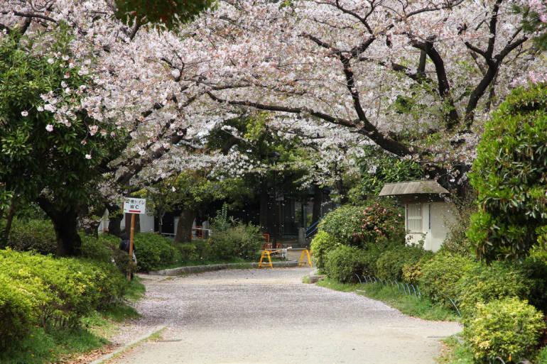 sumida park tokyo cherry blossom sakura