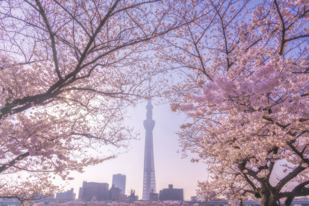 tokyo cherry blossom sakura