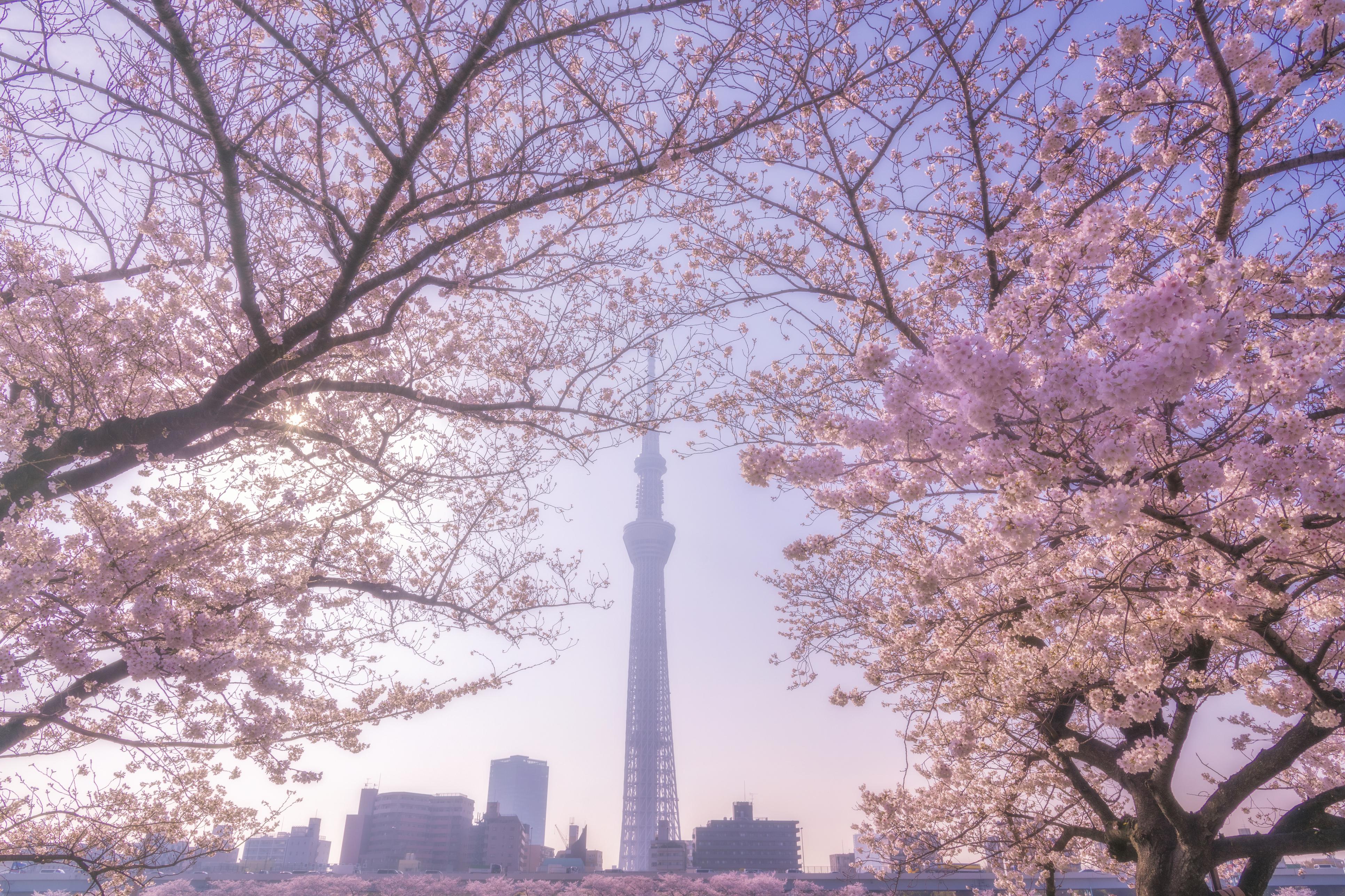 tokyo cherry blossom sakura online