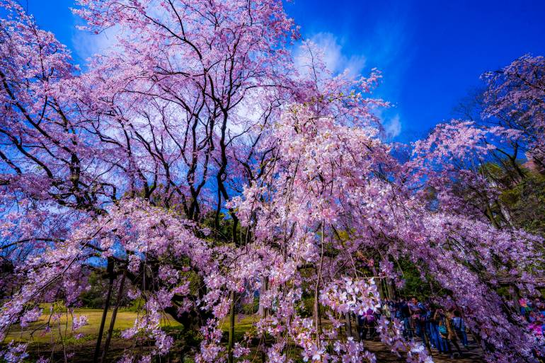 weeping cherry blossoms in the Rikugien