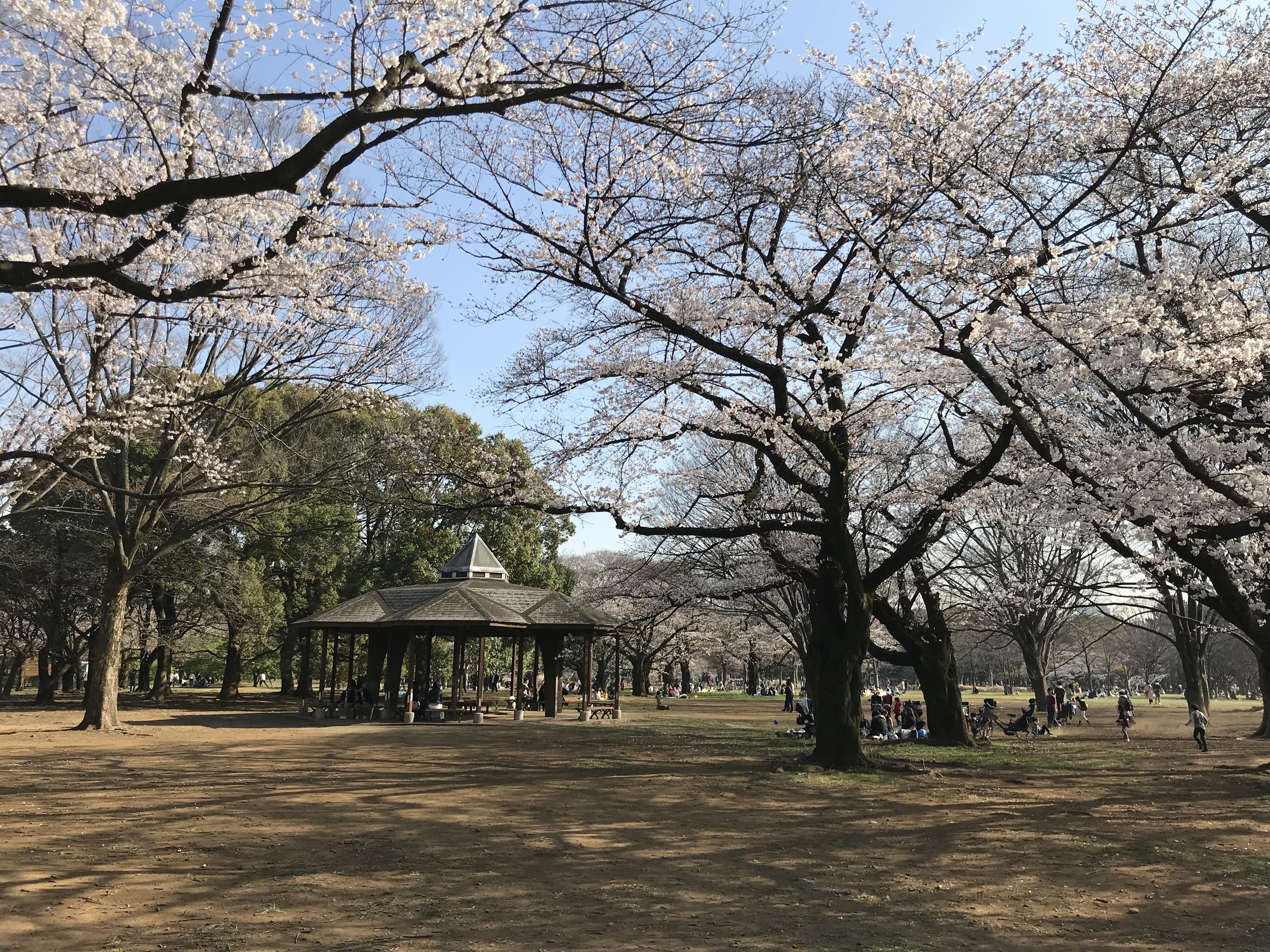 cherry blossom tokyo sakura