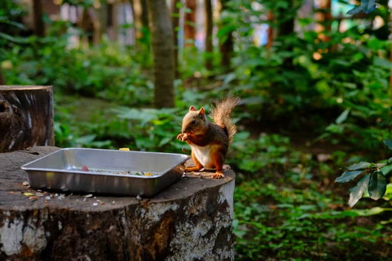squirrel eating from a tray in a forested area