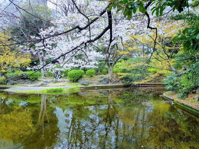 cherry blossoms akasaka