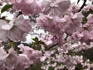 Cherry blossom in Itoigawa