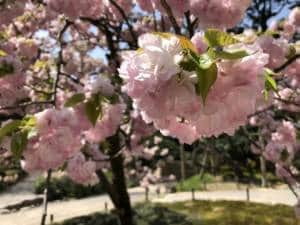 Late cherry blossom at Kenrokuen Garden in Kanazawa