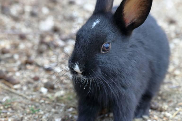 japan rabbit island