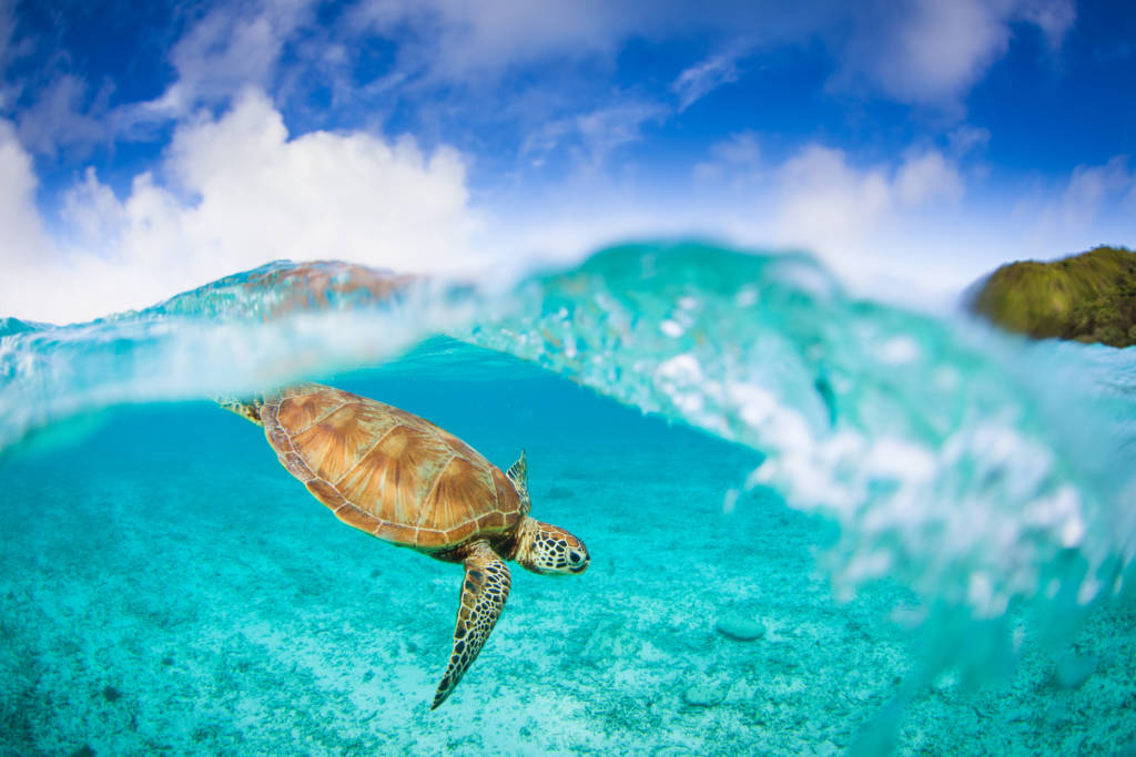 sea turtle in okinawa waters